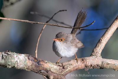 MMPI_20200606_MMPI0064_0001 - Superb Fairywren (Malurus cyaneus) (female) on a tree branch.