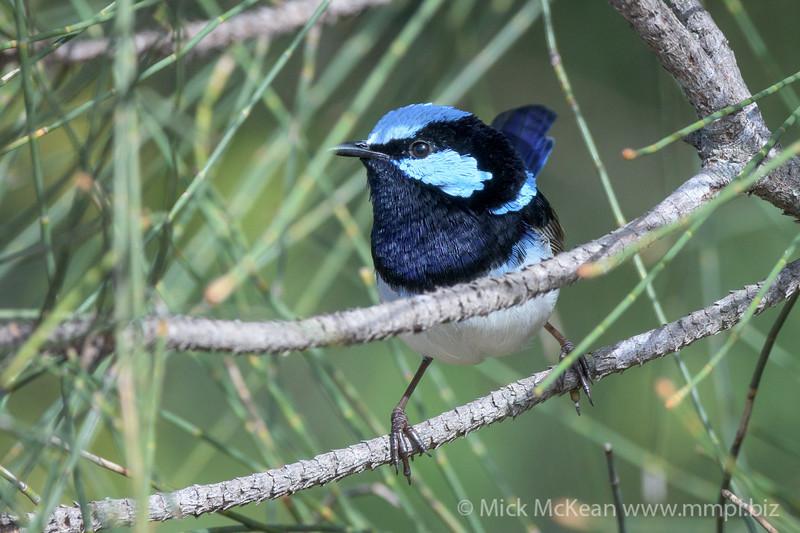 MMPI_20200613_MMPI0064_0009 - Superb Fairywren (Malurus cyaneus) (male) perching on a Casuarina tree branch.