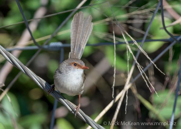 MMPI_20200613_MMPI0064_0007 - Superb Fairywren (Malurus cyaneus) (female) perching on a fence wire.