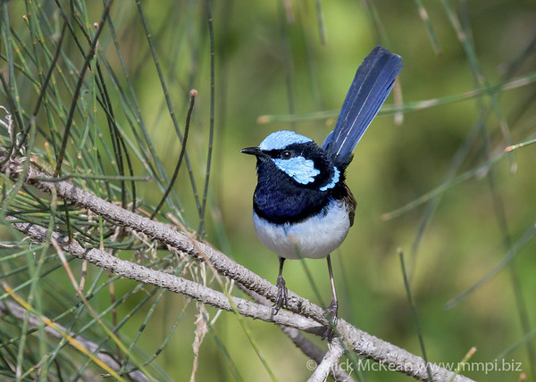 MMPI_20200613_MMPI0064_0008 - Superb Fairywren (Malurus cyaneus) (male) perching on a Casuarina tree branch.