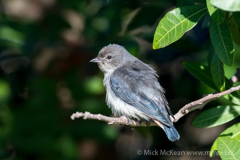 MMPI_20200613_MMPI0064_0002 - Mistletoebird (Dicaeum hirundinaceum) (female) perching in a Brazilian Pepper tree.