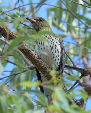 MMPI_20200613_MMPI0064_0016 - Olive-backed Oriole (Oriolus sagittatus) (female) perching in a tree.