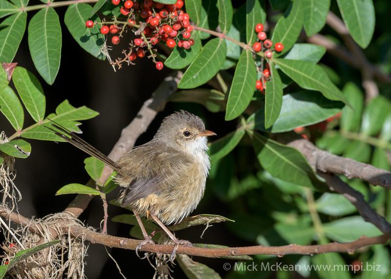 MMPI_20200613_MMPI0064_0004 - Red-backed Fairywren (Malurus melanocephalus) perching in a Brazilian Pepper tree.