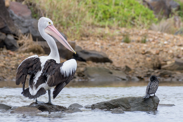 MMPI_20200620_MMPI0064_0072 - Australian Pelican (Pelecanus conspicillatus) standing on a rock in a stream drying its wings beside a Little Black Cormorant.