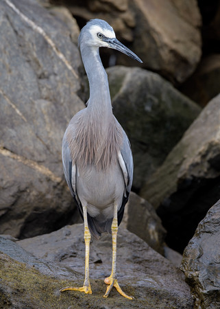 MMPI_20200620_MMPI0064_0068 - White-faced Heron (Egretta novaehollandiae) standing on a rock beside a stream.