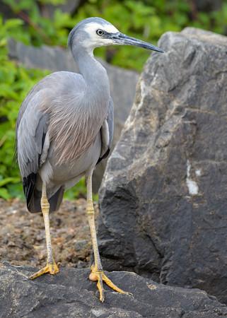 MMPI_20200620_MMPI0064_0065 - White-faced Heron (Egretta novaehollandiae) standing on a rock beside a stream.