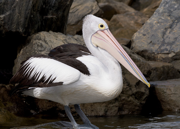 MMPI_20200620_MMPI0064_0062 - Australian Pelican (Pelecanus conspicillatus) standing on a rock.
