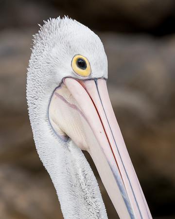 MMPI_20200620_MMPI0064_0063 - Australian Pelican (Pelecanus conspicillatus) headshot.