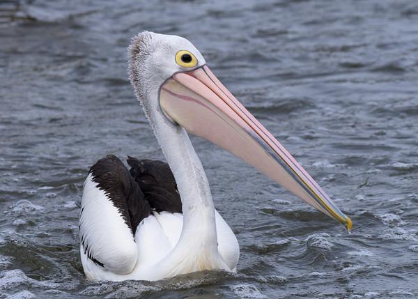 MMPI_20200620_MMPI0064_0066 - Australian Pelican (Pelecanus conspicillatus) swimming in a stream.