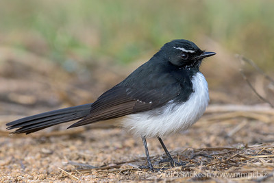 _MM56921 - Willie Wagtail (Rhipidura leucophrys) standing on a gravel path.