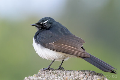_MM57003 - Willie Wagtail (Rhipidura leucophrys) perching on a rustic fencepost.