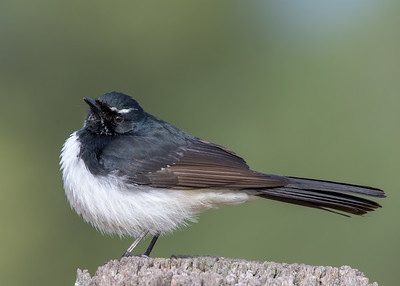 _MM57074 - Willie Wagtail (Rhipidura leucophrys) perching on a rustic fencepost.