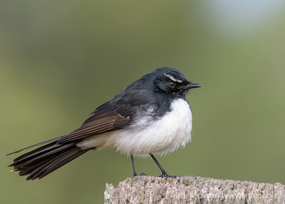 _MM57078 - Willie Wagtail (Rhipidura leucophrys) perching on a rustic fencepost.