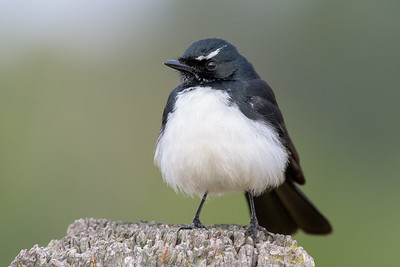 _MM56989 - Willie Wagtail (Rhipidura leucophrys) perching on a rustic fencepost.