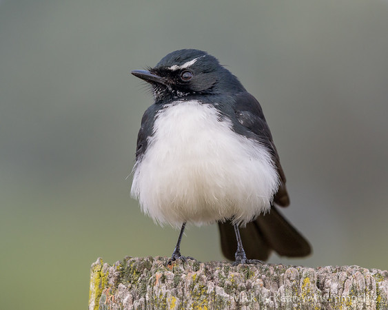 _MM57043 - Willie Wagtail (Rhipidura leucophrys) perching on a rustic fencepost.