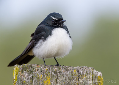 _MM57065 - Willie Wagtail (Rhipidura leucophrys) perching on a rustic fencepost.