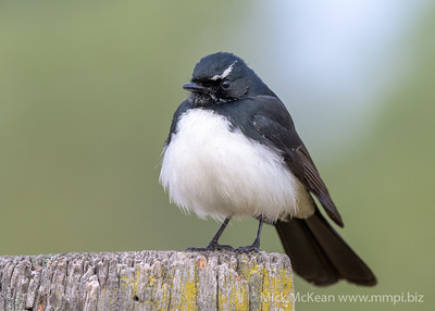 _MM57038 - Willie Wagtail (Rhipidura leucophrys) perching on a rustic fencepost.