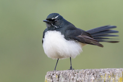 _MM57013 - Willie Wagtail (Rhipidura leucophrys) perching on a rustic fencepost.
