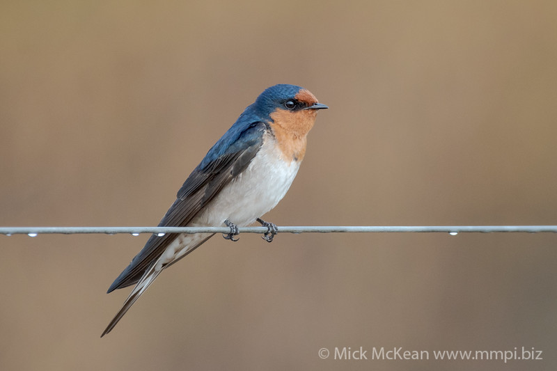 MMPI_20200711_MMPI0064_0001 - Welcome Swallow (Hirundo neoxena) perching on a fence wire with dew droplets on the wire.