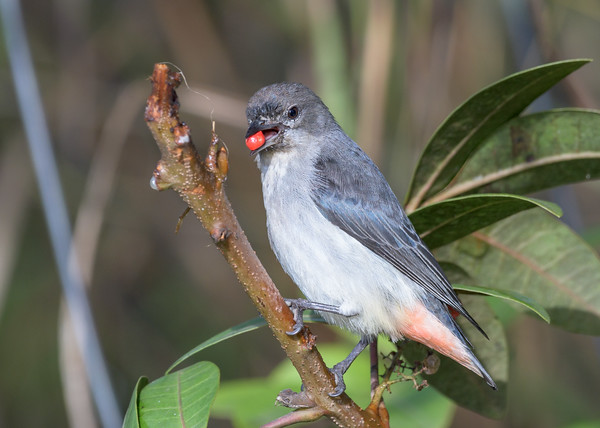 MMPI_20200711_MMPI0064_0007 - Mistletoebird (Dicaeum hirundinaceum) feeding on the fruit of a Brazilian Pepper Tree.