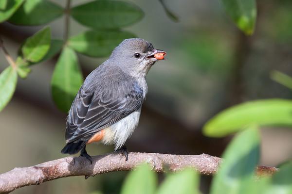MMPI_20200711_MMPI0064_0004 - Mistletoebird (Dicaeum hirundinaceum) feeding on the fruit of a Brazilian Pepper Tree.
