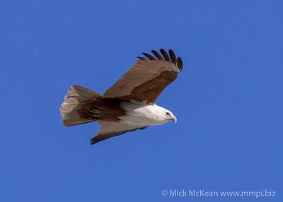 MMPI_20200715_MMPI0064_0027 - Brahminy Kite (Haliastur indus) in flight.