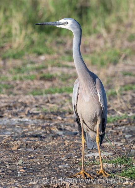 MMPI_20200715_MMPI0064_0028 - White-faced Heron (Egretta novaehollandiae) standing on the ground.