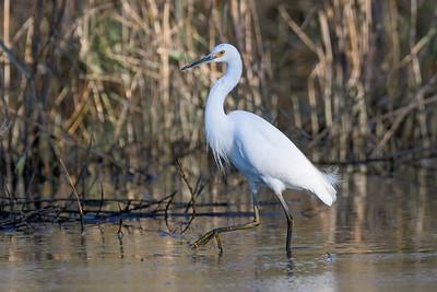 MMPI_20200715_MMPI0064_0017 - Little Egret (Egretta garzetta) walking through a marsh in late afternoon golden light.