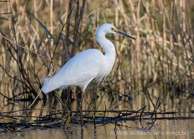 MMPI_20200715_MMPI0064_0016 - Little Egret (Egretta garzetta) walking through a marsh in late afternoon golden light.