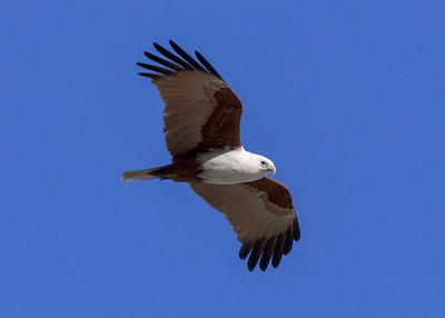 MMPI_20200715_MMPI0064_0025 - Brahminy Kite (Haliastur indus) in flight.