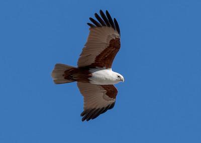 MMPI_20200715_MMPI0064_0026 - Brahminy Kite (Haliastur indus) in flight.