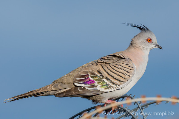 _7R40206 - Crested Pigeon (Ocyphaps lophotes) percvhing on a razor wire fence.