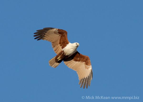 MMPI_20200809_MMPI0064_0001 -   Brahminy Kite Haliastur indus in flight.