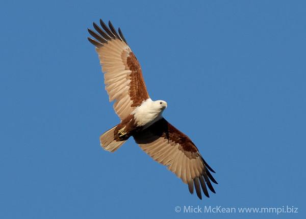 MMPI_20200809_MMPI0064_0002 -   Brahminy Kite Haliastur indus in flight.