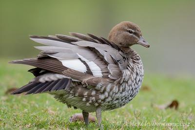 MMPI_20200815_MMPI0064_0002 - Maned Duck (Chenonetta jubata) (female) ruffling its feathers after preening.