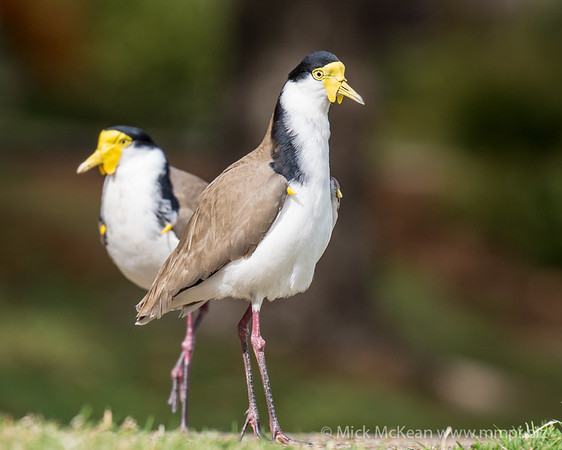MMPI_20200815_MMPI0064_0008 - Masked Lapwing (Vanellus miles) pair standing on a lawn.