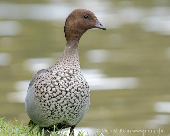 MMPI_20200815_MMPI0064_0007 - Maned Duck (Chenonetta jubata) (male) standing at the edge of a lake.