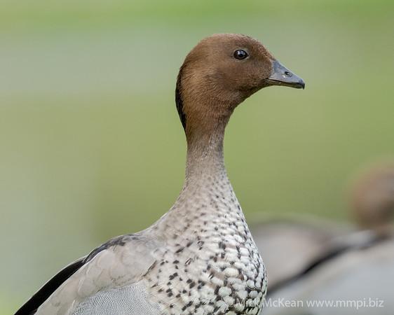 MMPI_20200815_MMPI0064_0005 - Maned Duck (Chenonetta jubata) (male) portrait.