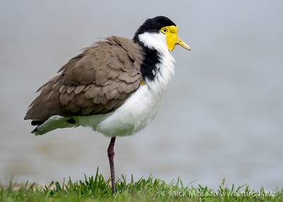 MMPI_20200815_MMPI0064_0015 - Masked Lapwing (Vanellus miles) ruffling its feathers while standing on one leg at the edge of a lake.