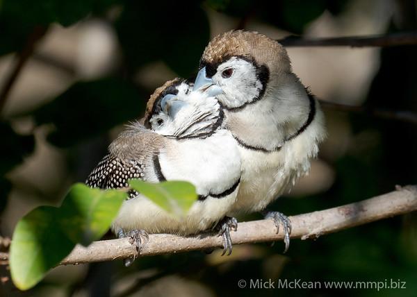 MMPI_20200816_MMPI0064_0028 - Double-barred Finch (Taeniopygia bichenovii) pair engaging in allopreening in a shrub.