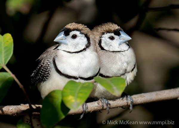 MMPI_20200816_MMPI0064_0030 - Double-barred Finch (Taeniopygia bichenovii) pair resting on a branch in a shrub.
