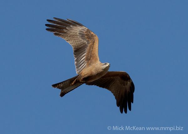 MMPI_20200816_MMPI0064_0022 - Black Kite (Milvus migrans) in flight.