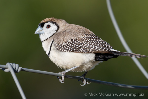 MMPI_20200816_MMPI0064_0004 - Double-barred Finch (Taeniopygia bichenovii) perching on a wire fence.