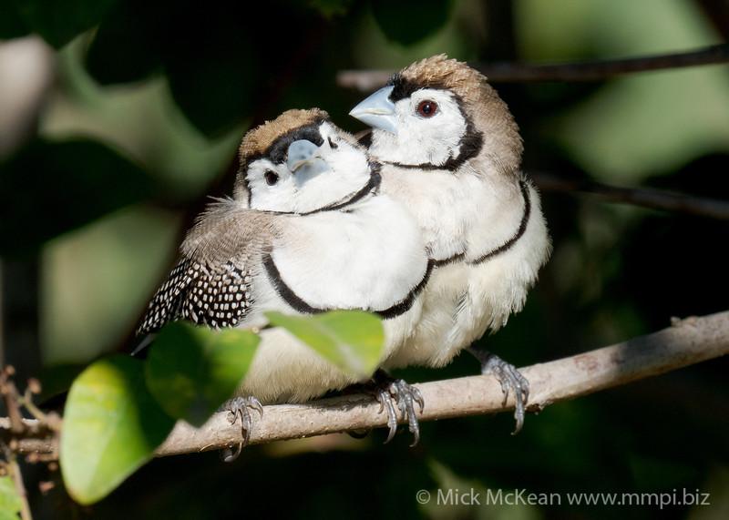 MMPI_20200816_MMPI0064_0027 - Double-barred Finch (Taeniopygia bichenovii) pair resting on a branch in a shrub.