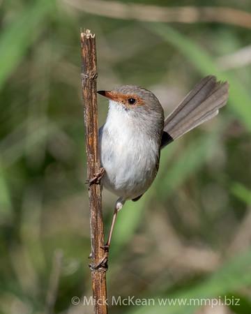 MMPI_20200816_MMPI0064_0031 - Superb Fairywren (Malurus cyaneus) (female) perching on a vertical branch.
