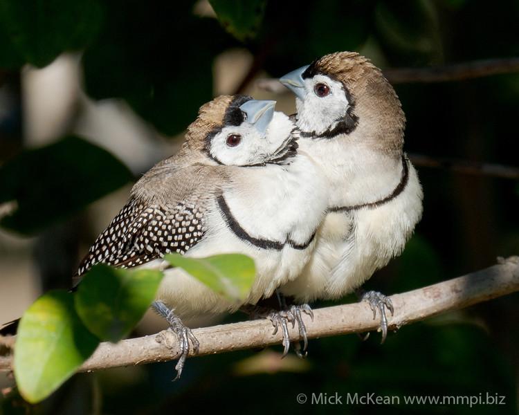 MMPI_20200816_MMPI0064_0026 - Double-barred Finch (Taeniopygia bichenovii) pair resting on a branch in a shrub.