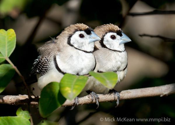MMPI_20200816_MMPI0064_0029 - Double-barred Finch (Taeniopygia bichenovii) pair resting on a branch in a shrub.