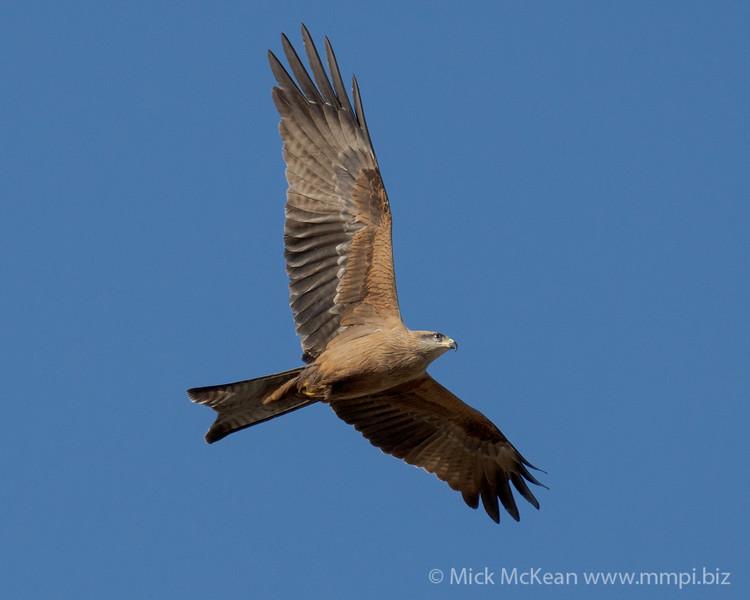 MMPI_20200816_MMPI0064_0024 - Black Kite (Milvus migrans) in flight.