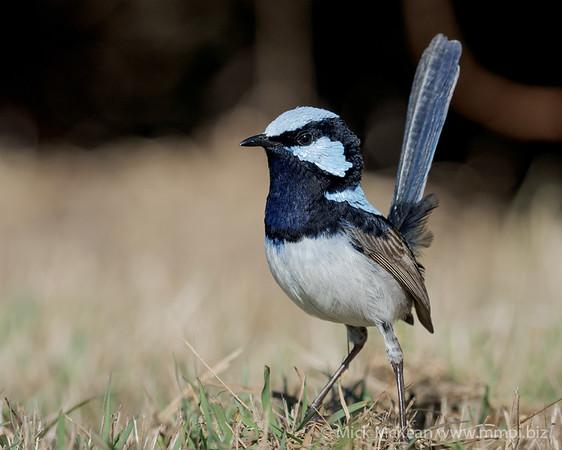 MMPI_20200816_MMPI0064_0034 - Superb Fairywren (Malurus cyaneus) (male) standing on the ground in alert pose.