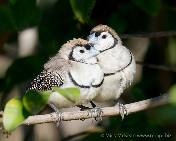 MMPI_20200816_MMPI0064_0025 - Double-barred Finch (Taeniopygia bichenovii) pair resting on a branch in a shrub.